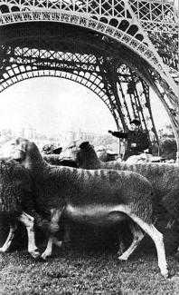 A large number of sheep under the Eiffel Tower. A man in the middle is extending his arm.